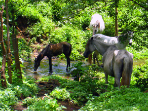 Horses drink at a stream in the forest.