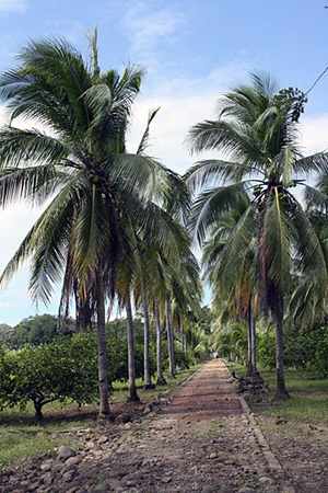The long straight driveway from the highway to the house is bordered with lofty palm trees.