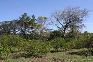 A part of the 5-acre lime orchard.