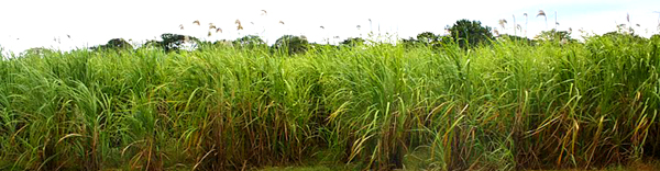 The 18 hectares of sugar cane produce 100 tons of cane per hectar.