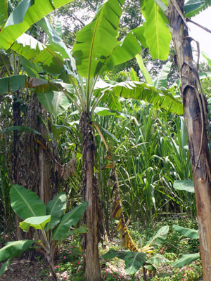 Here is a variety of fruit trees around a stand of sugar cane.