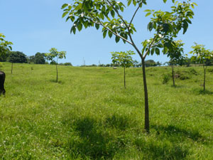 A grove of young fruit trees form a new orchard in a pasture.