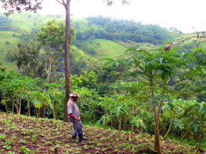 The farmer walks through his thriving beans toward his papayas.
