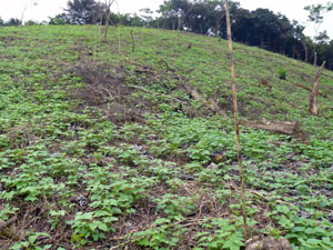 Beans continue to the forested peak of the property.