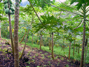 A grove of young papaya trees are providing a good crop.