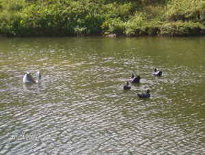 The pond attracts many ucks and other waterfowl.
