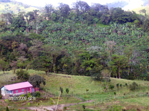 Indigenous tees surround a hillside grove of bananas.