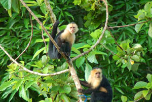 The huge forested finca abounds with wildlife uch as these white-faced monkeys.