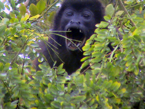 A howler monkey visits the trees on the lake side of the reatuarant.
