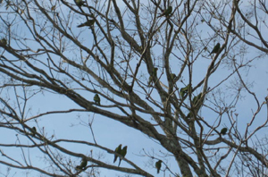 A flock of chattering parrots makes a brief visit to a tree in front of the restaurant.