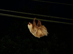 A sloth uses the wires in front of the restaurant to move between groups of trees.