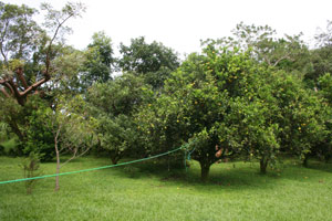 The lot contains some nice fruit trees.