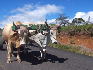 A working team of oxen used the paved highway to Tierras Morenas.