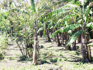 A banana grove occupies a black-earthed corner of the acreage.
