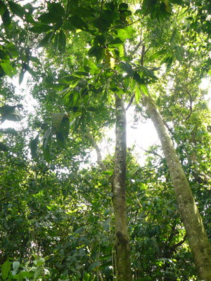The thick old-growth forest is home to capuchin as well as howler monkeys.