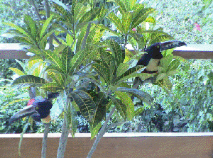 Aracaris such as these are among the many types of birds flourishing in the area.