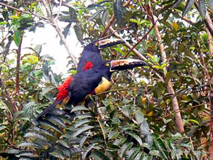 Colorful visitors, a pair of aricaris, big=beaked birds like toucans, which love to visit fruit-filled feeding platforms.